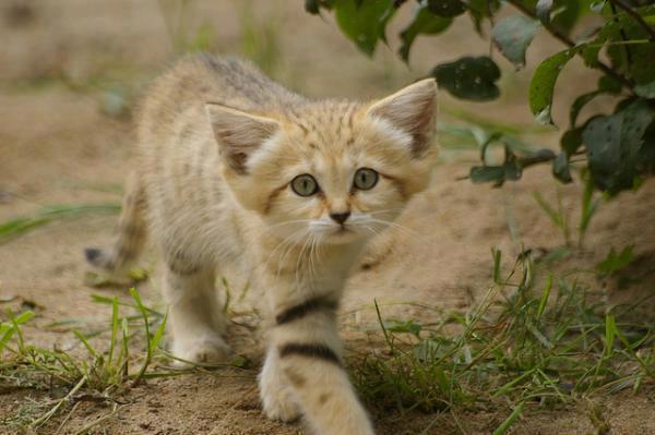 sandcat